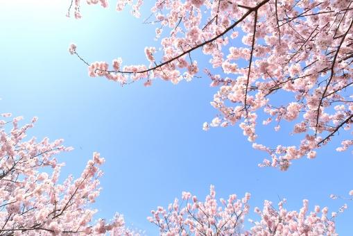 アクアセレクト 桜の写真